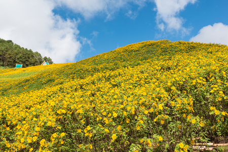 Field of Mexican sunflowers at Doi Mae U Kor of Mae Hong Son, Thailand, the famous travel destination in winter