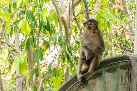 Single brown monkey sitting on cement wall looking to somewhere else in public park