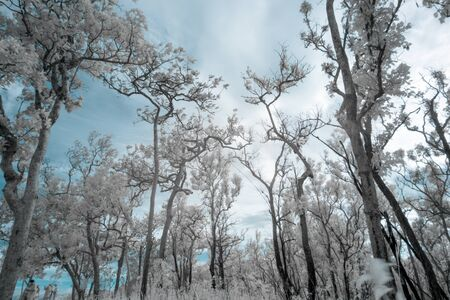 Beautiful group of trees in Saithong national public park in Chaiyaphum, Thailand in infrared photography