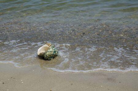 turbo: Large seashell Turbo Marmoratus on the beach Stock Photo