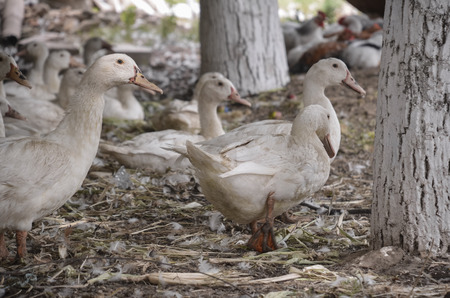 cackle: Domestic ducks on a farm in the village outdoors
