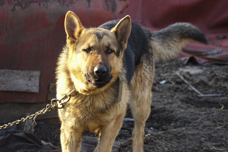 German Shepherd is tied to an iron chain
