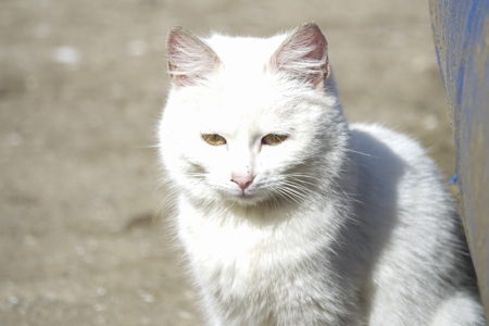 Homeless white cat closeup