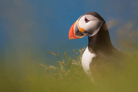 puffin: Puffin bird Stock Photo