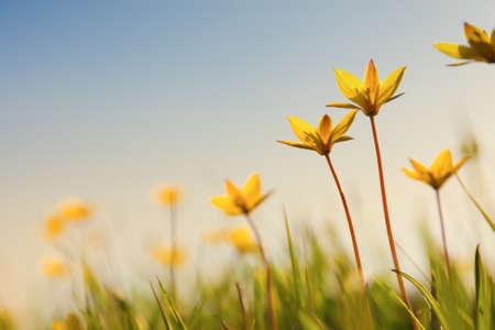Tulip Bieberstein flower