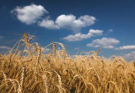 rye: field of rye