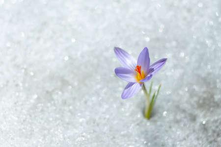 spring snow Flower Standard-Bild