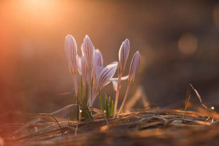 first spring crocus flowers at sunrise in a ravine