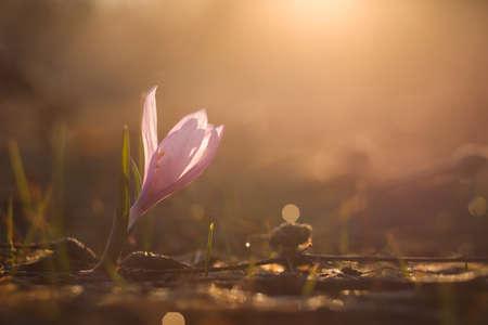 first spring flowers Bulbocodium versicolor at dawn