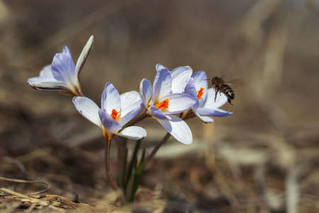 the first spring crocus flowers at sunrise with a bee