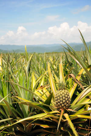 plant sweet: Pineapple in the plantation area under tropical area Stock Photo