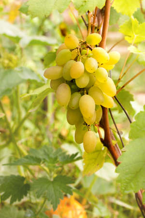 White shardonnay grape on grean leaf bacground Stock Photo