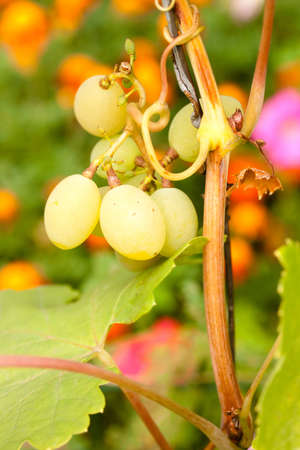 grape of chardonnay on its bunch close up Stock Photo