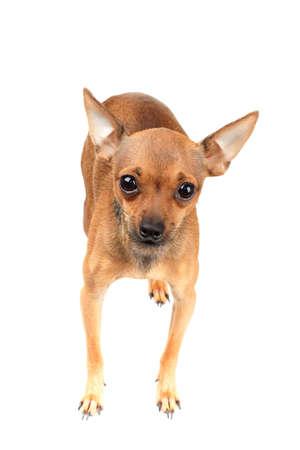 toy terrier: Cute puppy