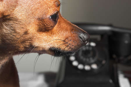 Cute puppy at reception area waits by the phone - close up