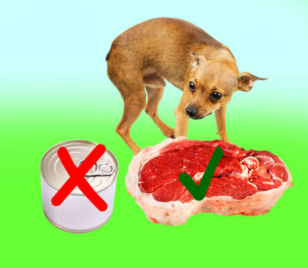 Slim dog in good shape makes a right choice between good and bad food. The dog is a toy terrier by the way.