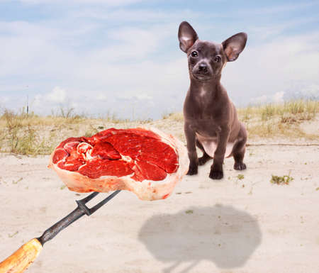 fun picture illustrating who someone teasing a cute russian toy terrier puppy with a piece of fresh juicy meat