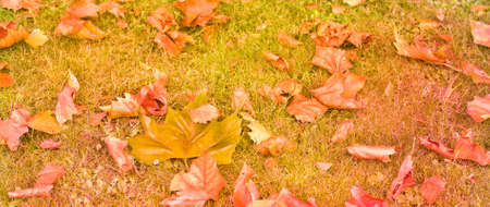 A carpet of colorful autumn leaves on dim grass Stock Photo