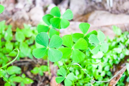 marsilea: green leaf of marsilea crenata Stock Photo