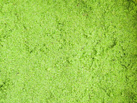 globosa: Wolffia globosa or Fresh water Alga, Water Meal, Swamp Algae,green background