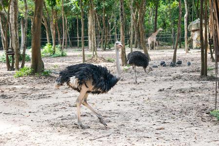 ostrich: avestruz corriendo
