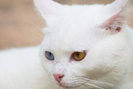face close up: close up face thai white cat