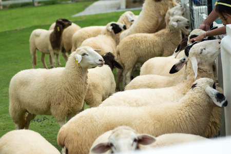 feeding the sheep Stock Photo