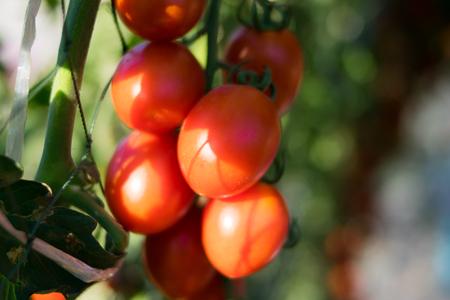 fresh tomatoes in the farm