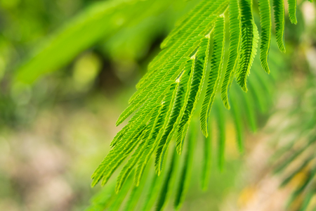 Cha (Cha-om), Acacia pennata vegetables in the garden,green leaves background Stock Photo
