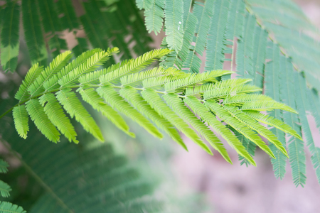 cha om: Cha (Cha-om), Acacia pennata vegetables in the garden,green leaves background Stock Photo