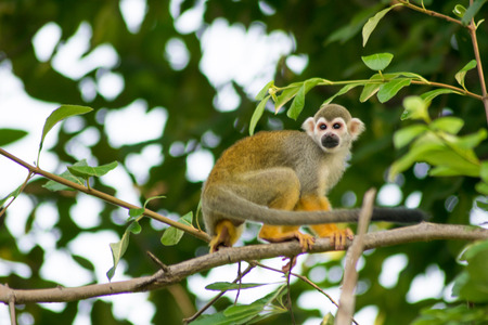 squirrel monkey (Saimiri sciureus) walking on a tree branch