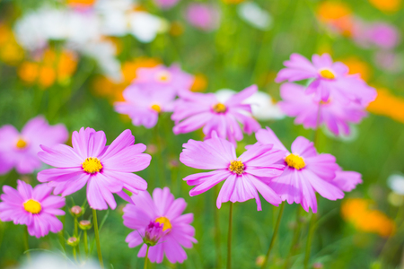 colorful cosmos flower on flower garden
