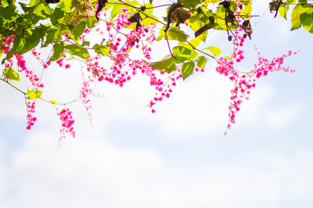 Antigonon leptopus pink flower with free space for texture Reklamní fotografie