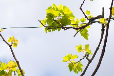 grape plant tree leaves