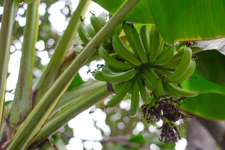 plantae: Banana Stock Photo