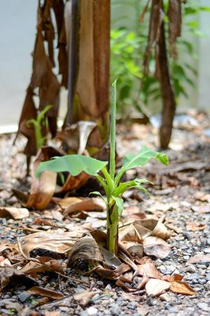 plantae: Banana Tree