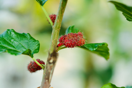 l agriculture: Mulberry