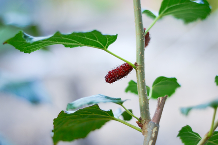 mulberry: Mulberry Tree Stock Photo