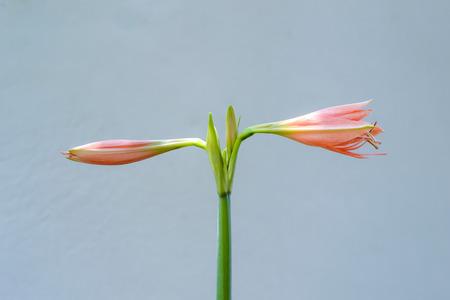 hippeastrum flower: hippeastrum flower Stock Photo