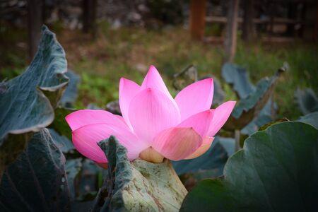 effloresce: Lotus