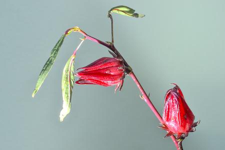 sepals: roselle