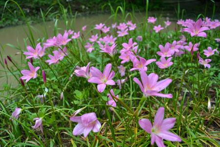 Cosmos lily bloom near stream