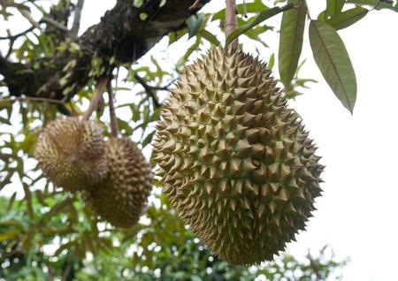 Fresh Durian in tree at Chanthaburi, Thailand photo
