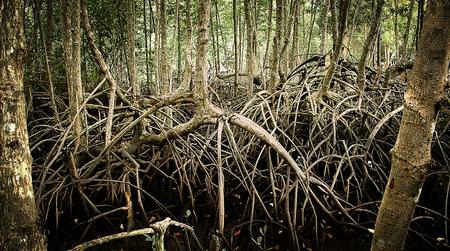 abundant: Mangrove forests are abundant in Thailand Stock Photo