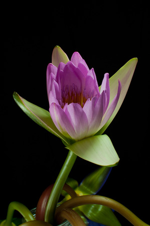trimmed: Lotus pink trimmed with a black background. Stock Photo