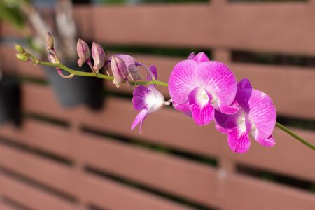 Close up Orchid Decorate the fence for beauty by taking a beautiful golden light in the morning Concept.