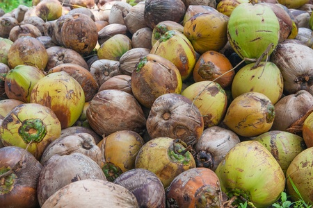 Coconuts on Samui island