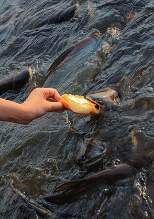 Feed the bread to fish Stock Photo