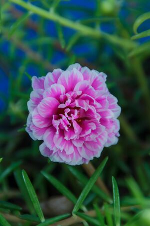 purple Portulaca oleracea flower