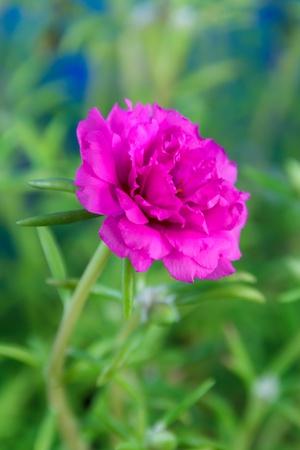 Fuchsia Portulaca oleracea flower